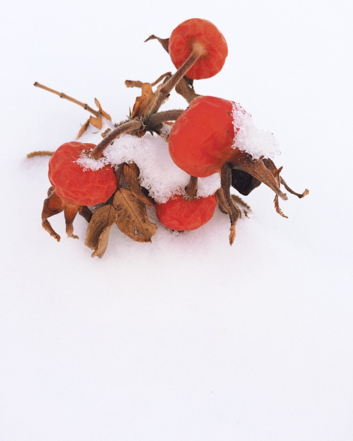 Rosehips in the snow. Photo by Reghan Skerry.