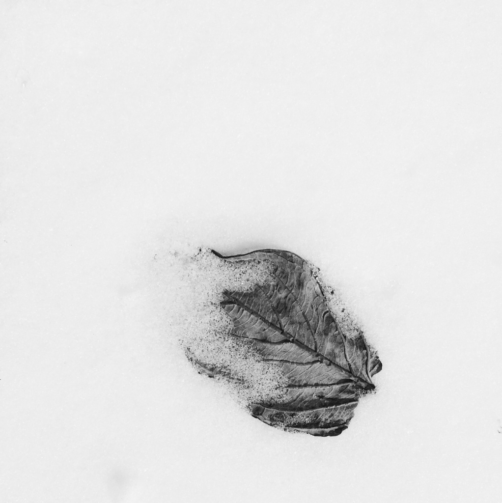 Black and white photo of a leaf in the snow by Reghan Skerry