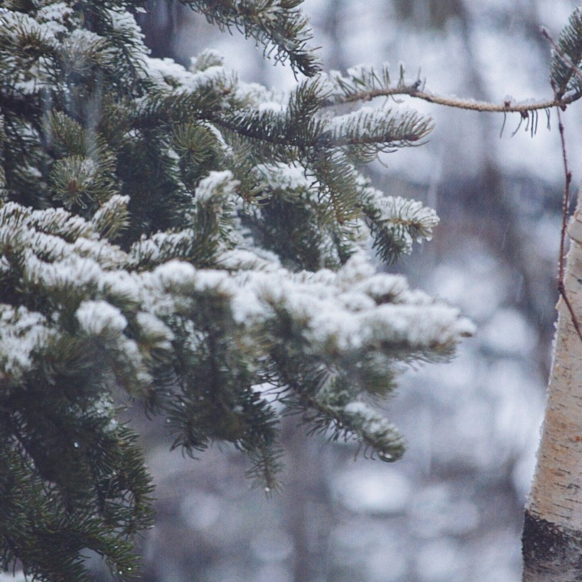 Close up of snow falling on evergreen branches, photographed by Reghan Skerry