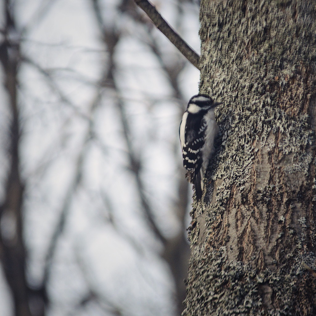 Downy woodpecker, photographed by Reghan Skerry