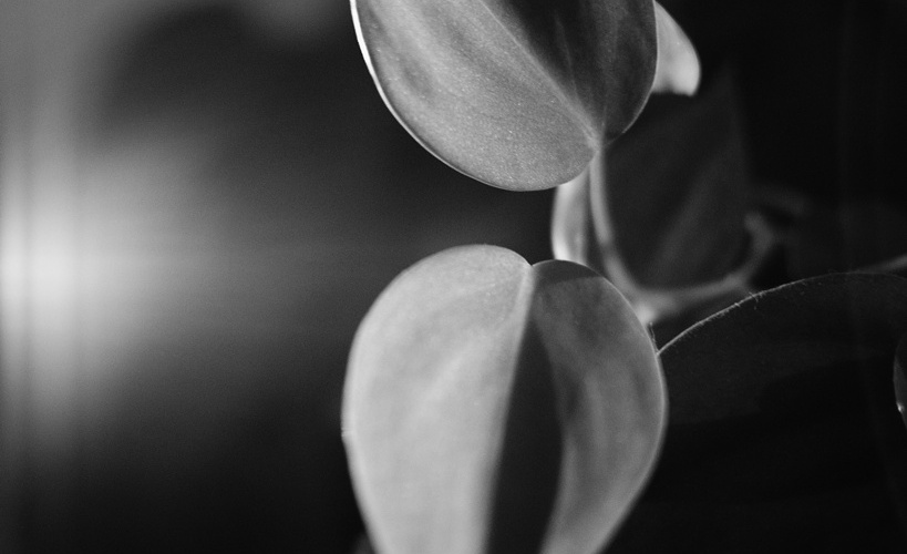 Black and white close up of philodendron leaves, photographed by Reghan Skerry.