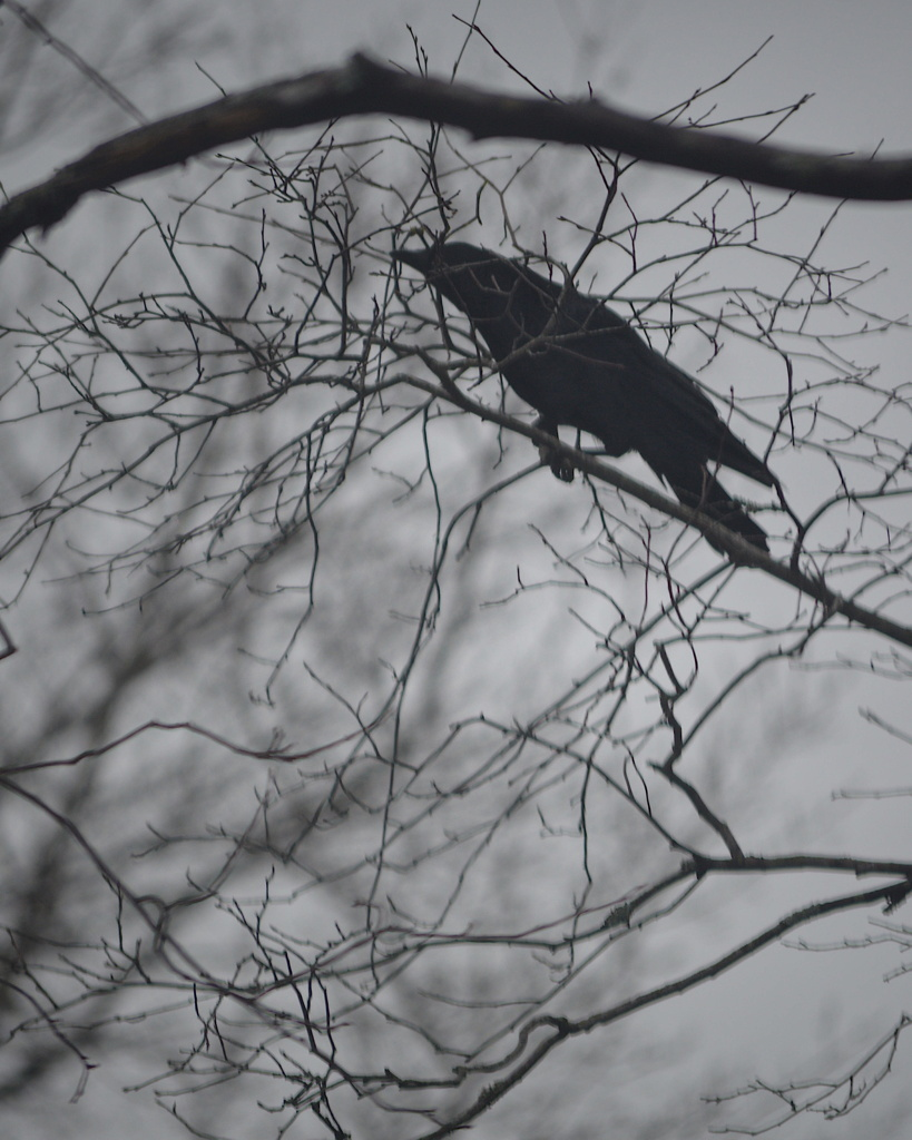 A crow in a tree, by Reghan Skerry.