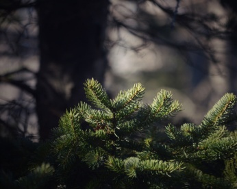 Evergreen boughs in a sunbeam. Photo by Reghan Skerry.