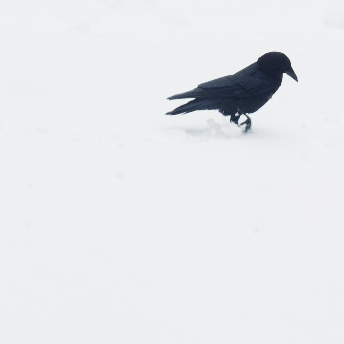 A crow walking in the snow. Photo by Reghan Skerry.