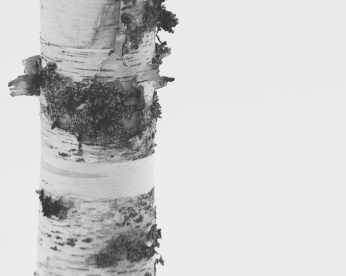 Black and white close up of a birch tree against a white backdrop. Photo by Reghan Skerry.