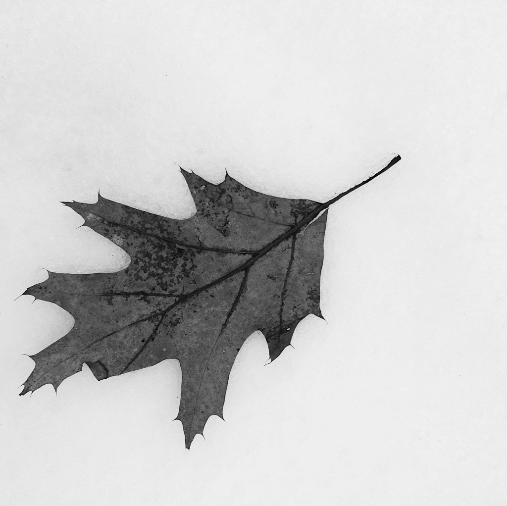 Black and white image of an oak leaf on snow. Photo by Reghan Skerry.