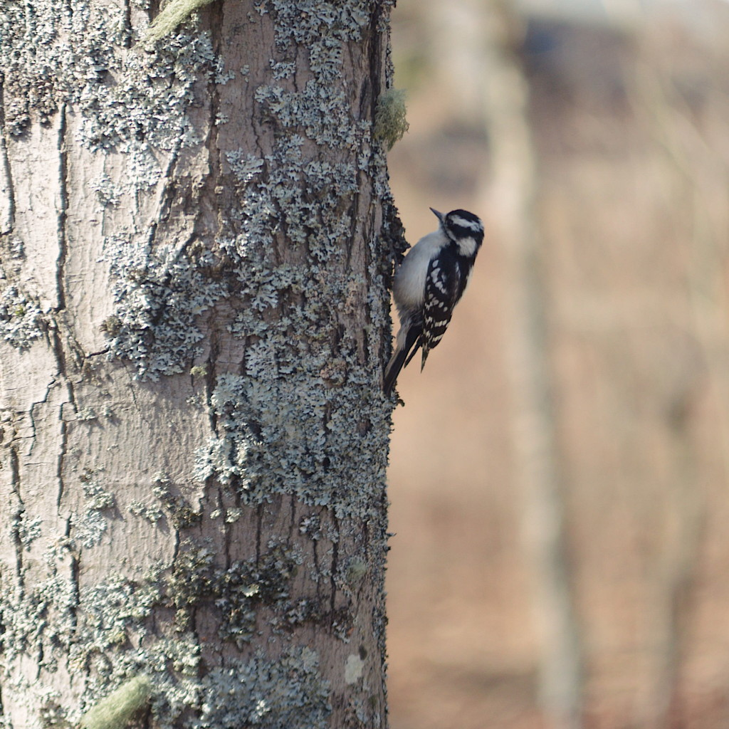 Female downy woodpecker on a tree. Photo by Reghan Skerry.