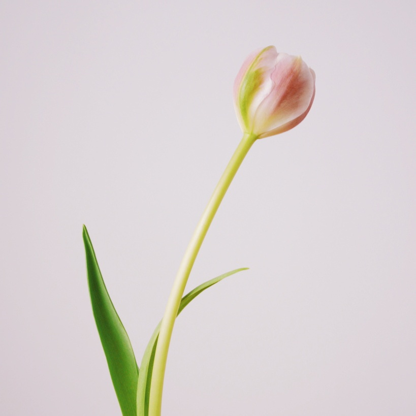 A pink tulip against a pale pink background. Photo by Reghan Skerry
