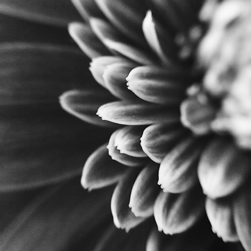 Black and white close-up photo of gerbera daisy petals. Photo by Reghan Skerry