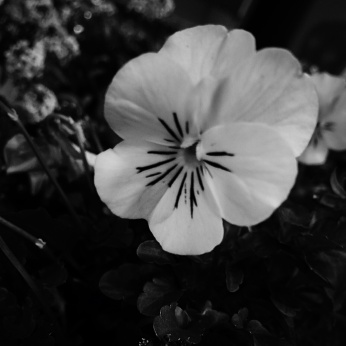Black and white photo of a pansy. Photo by Reghan Skerry