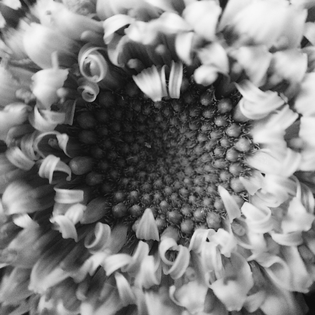 Close-up black and white photo of the centre of a gerbera daisy. Photo by Reghan Skerry