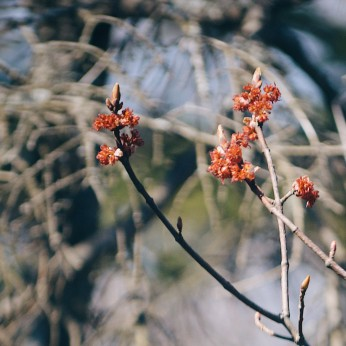 Maple tree buds. Photo by Reghan Skerry