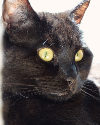 Portrait of a black cat. Photo by Reghan Skerry.
