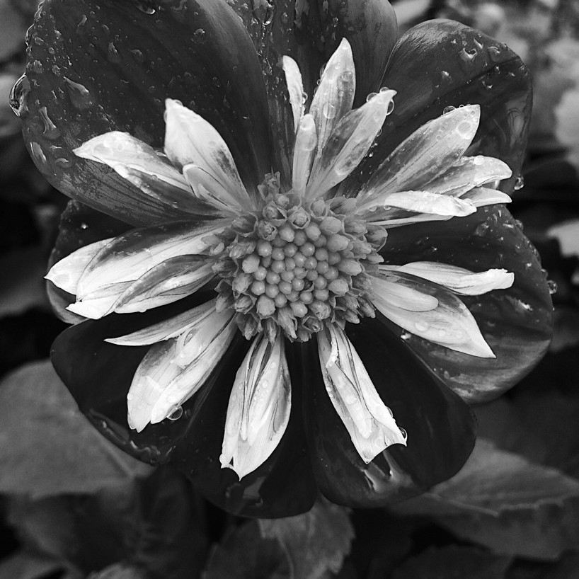 Black-and-white photo of a wet flower. Photo by Reghan Skerry.
