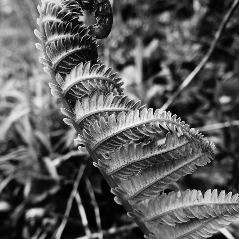 Black and white photo of a single fern leaf, partially unfurled. Photo by Reghan Skerry.