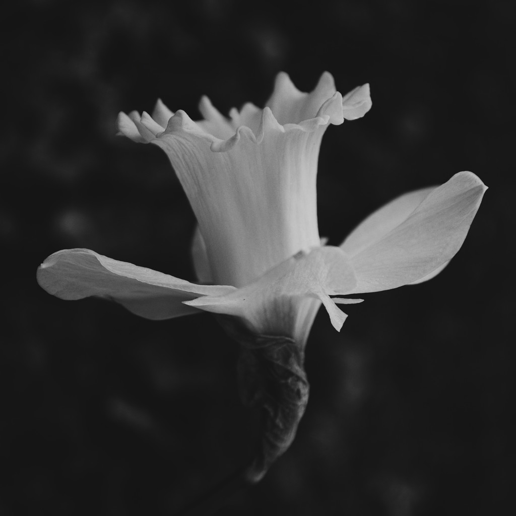 Black and white photo of a daffodil. Photo by Reghan Skerry.