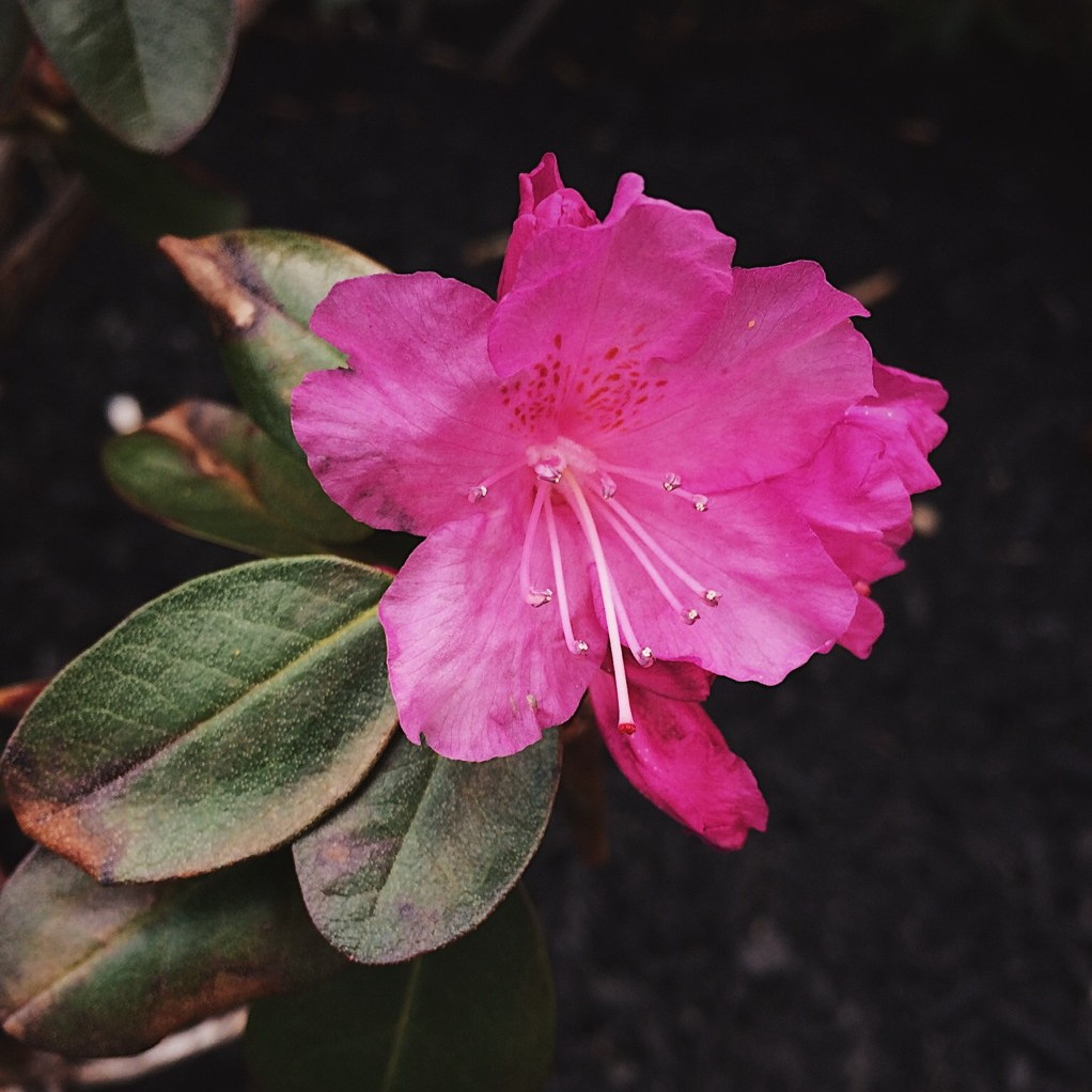 Single pink rhododendron blossom. Photo by Reghan Skerry.