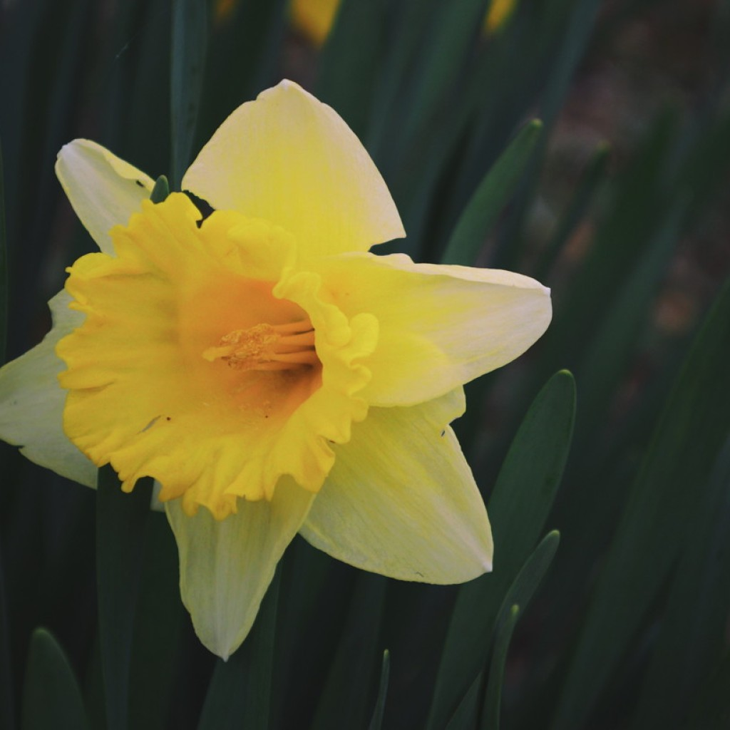Yellow and white daffodil in front of leaves. Photo by Reghan Skerry.