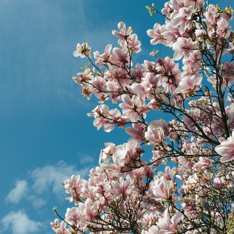 Pale pink magnolia blossoms against a blue sky. Photo by Reghan Skerry.