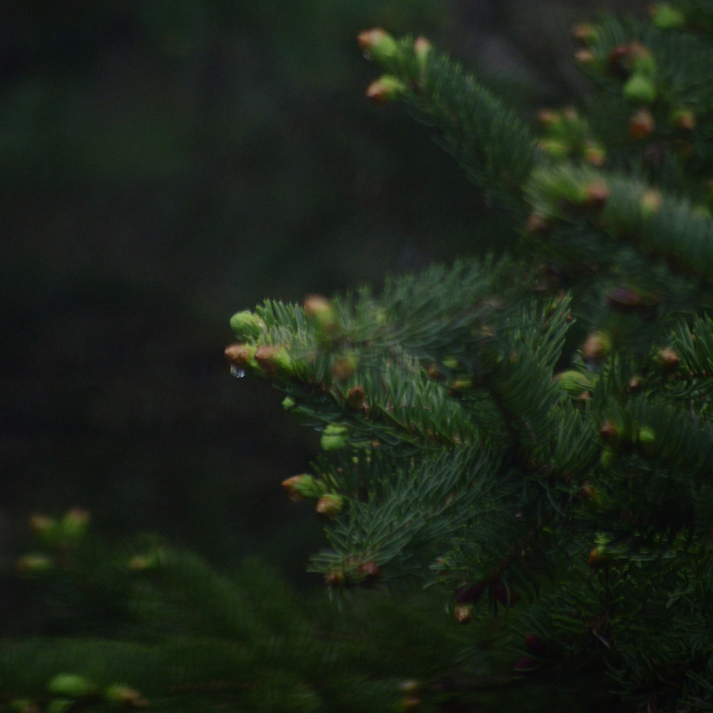 New growth on spruce boughs. Photo by Reghan Skerry.