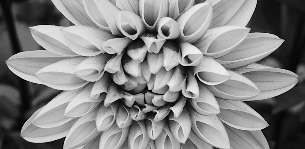 Black and white photo of a dahlia flower. Photo by Reghan Skerry.