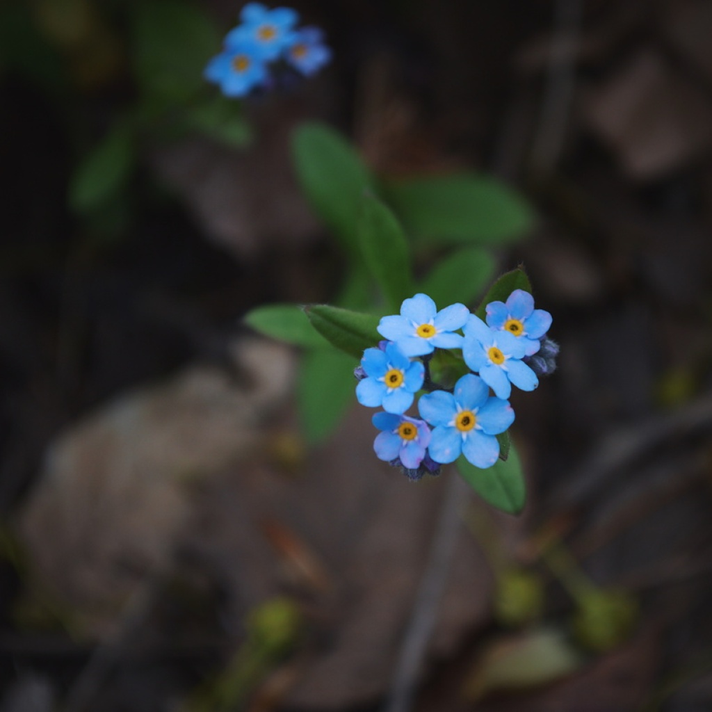 Small bunch of forget-me-nots. Photo by Reghan Skerry.