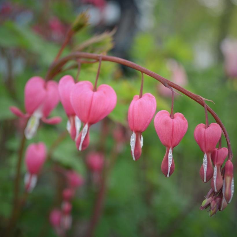 A stem of bleeding heart flowers. Photo by Reghan Skerry.