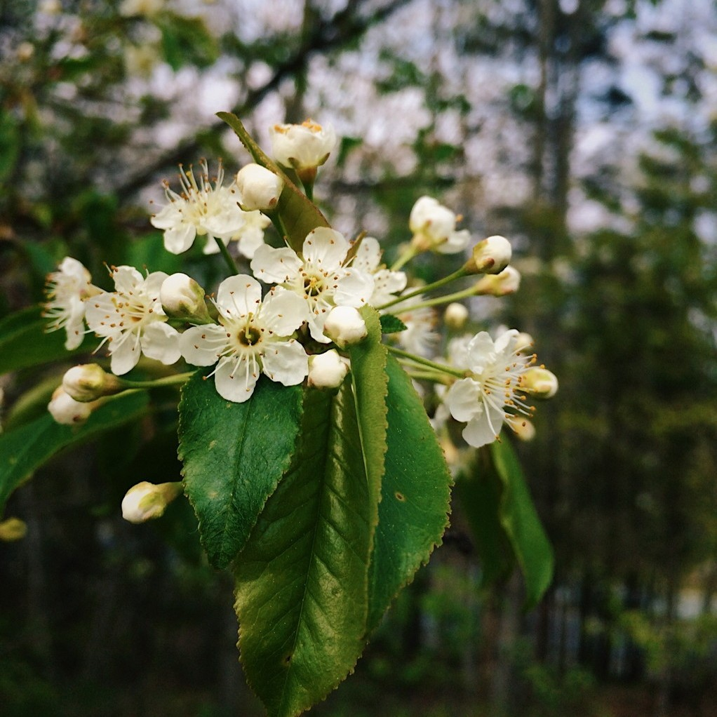 Choke cherry blossoms. Photo by Reghan Skerry.