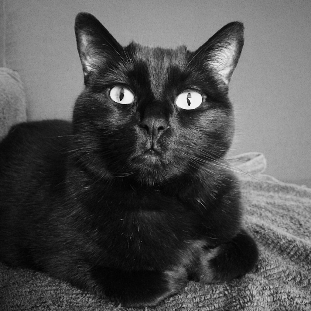 Black and white photo of a black cat looking directly at the camera. Photo by Reghan Skerry.
