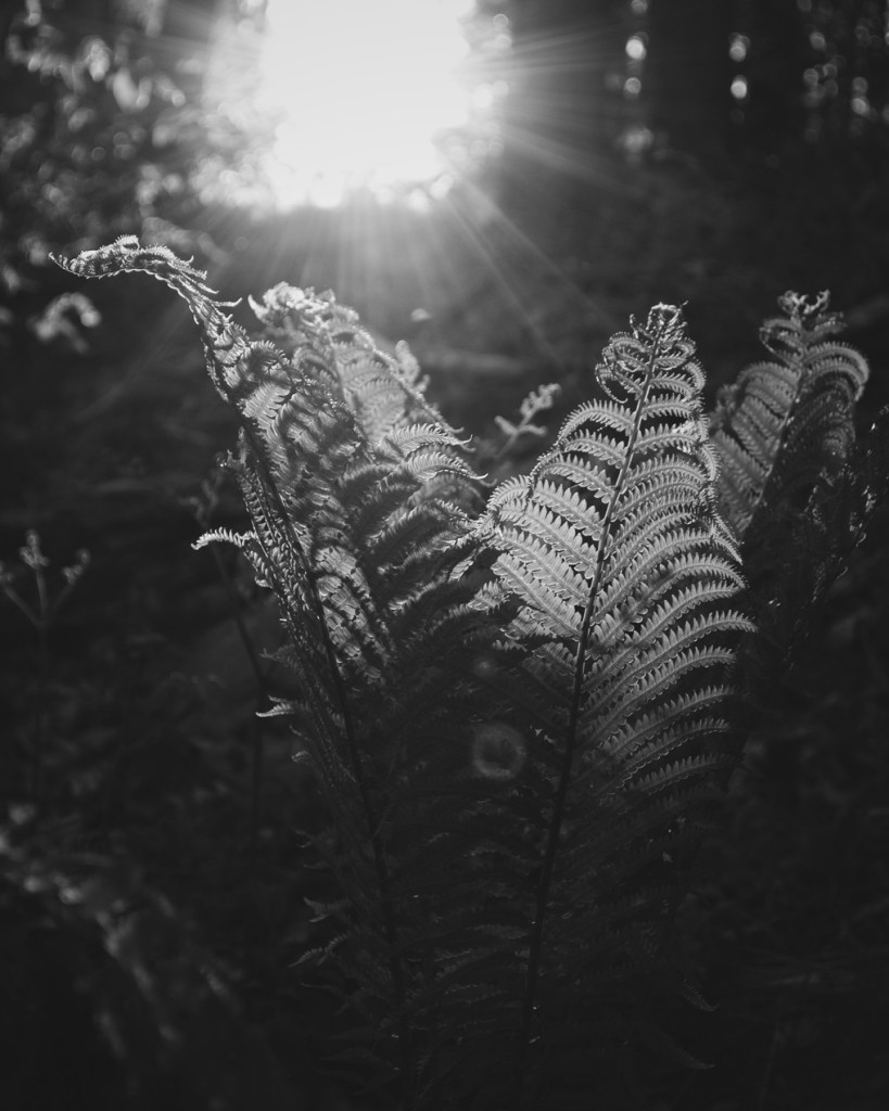 Black and white photo of fern leaves backlit by sun. Photo by Reghan Skerry.