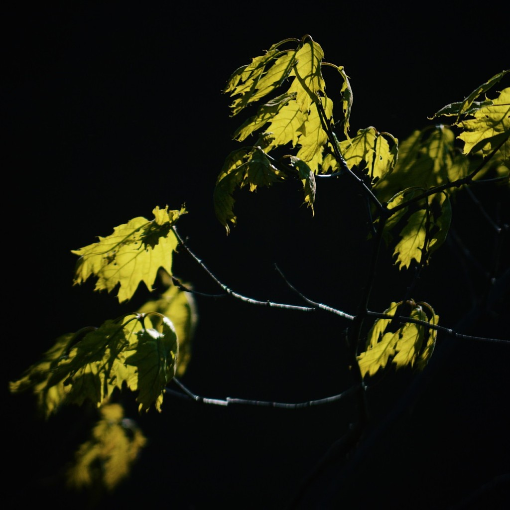 Backlit oak leaves against a dark backdrop. Photo by Reghan Skerry.
