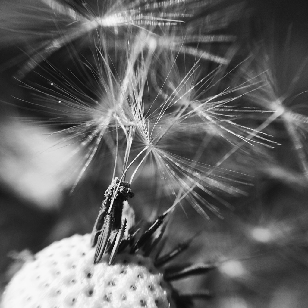 Close-up black and white photo of dandelion seeds. Photo by Reghan Skerry.