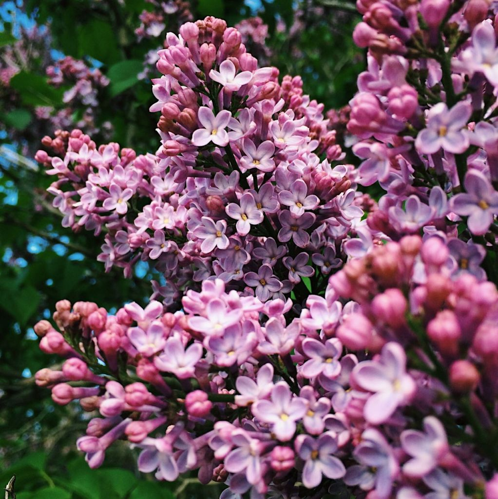 Pink lilacs in bloom. Photo by Reghan Skerry.