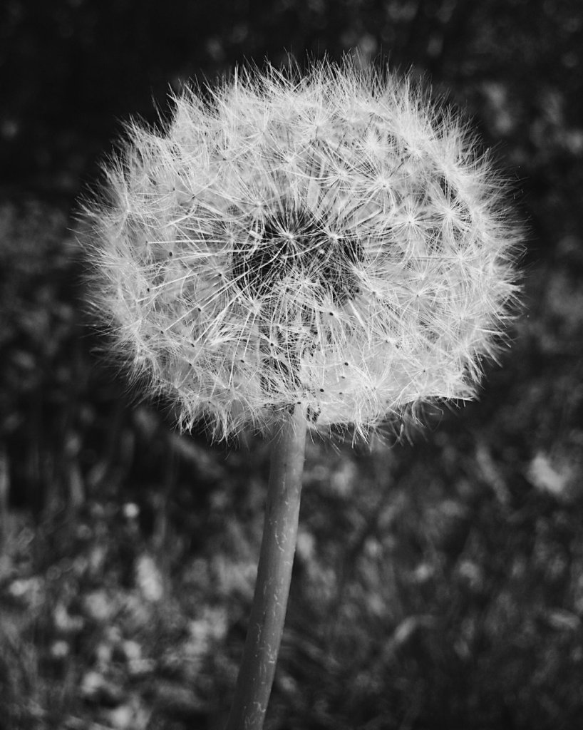 Black and white photo of a dandelion gone to seed. Photo by Reghan Skerry.
