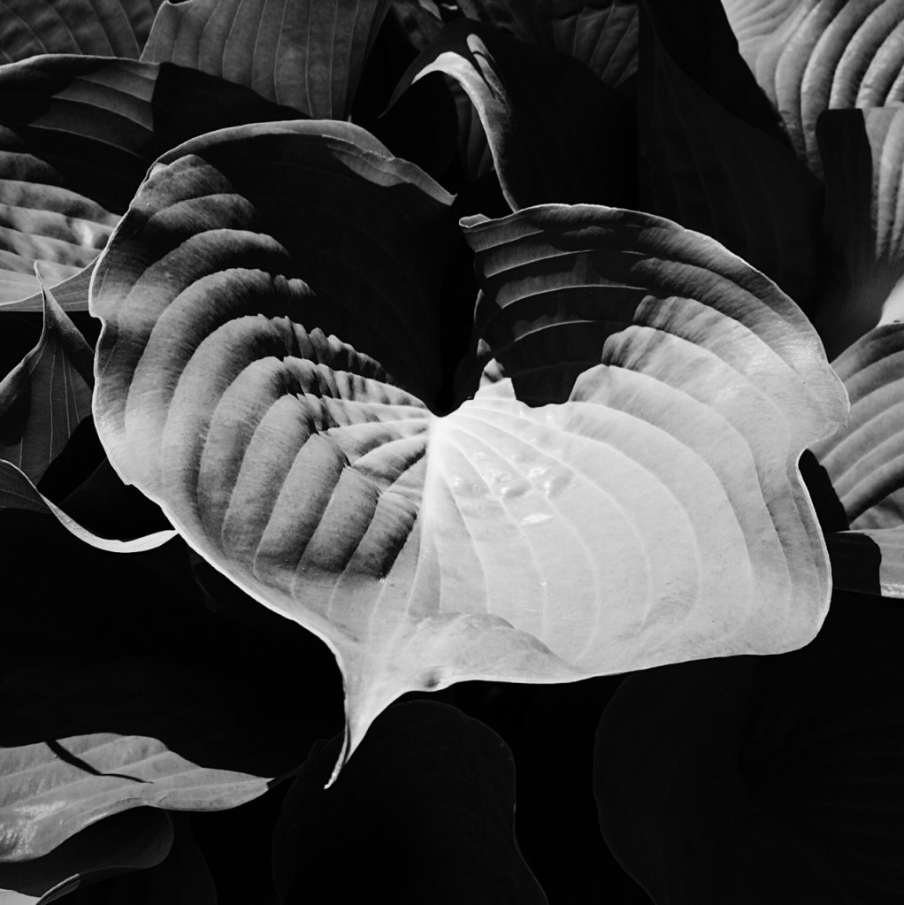 Black and white photo of hosta leaves. Photo by Reghan Skerry.