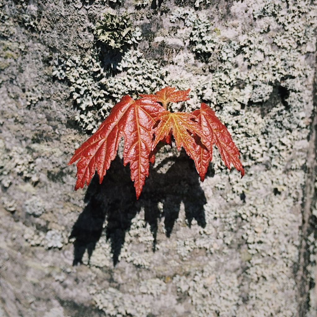 Small red maple leaves on a tree trunk. Photo by Reghan Skerry.