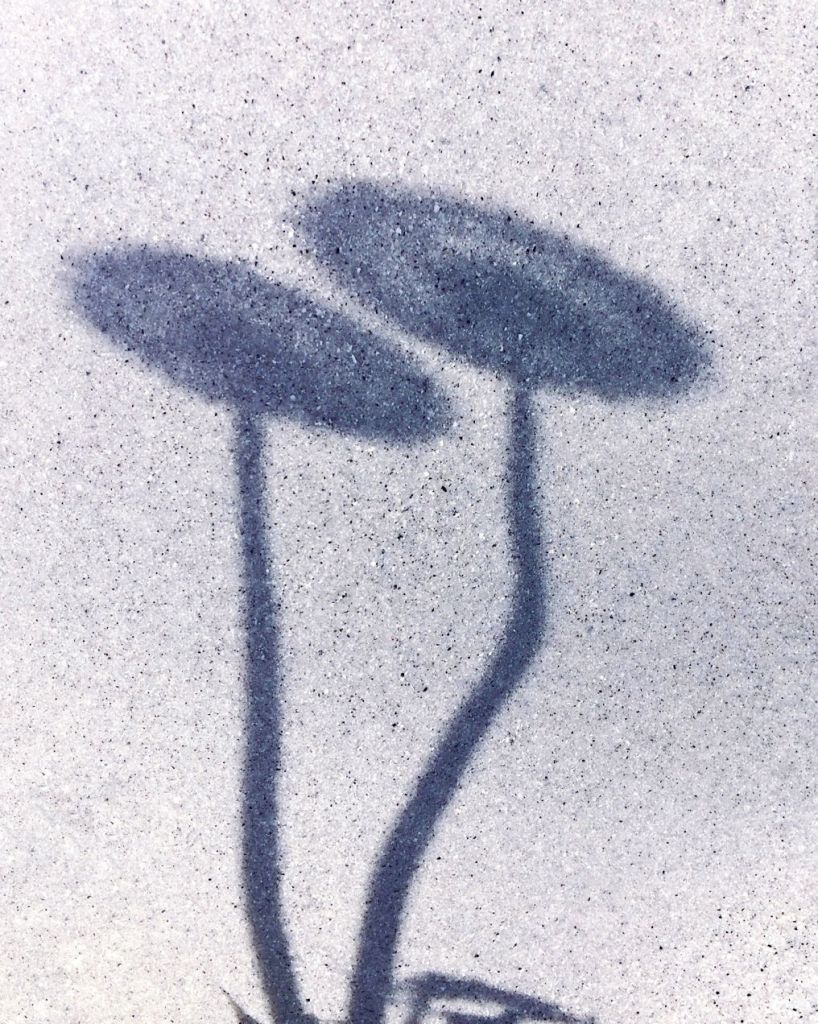Shadow of two dandelions gone to seed. Photo by Reghan Skerry.