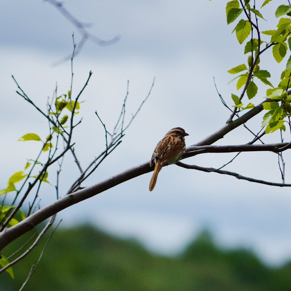 Sparrow on a branch. Photo by Reghan Skerry.