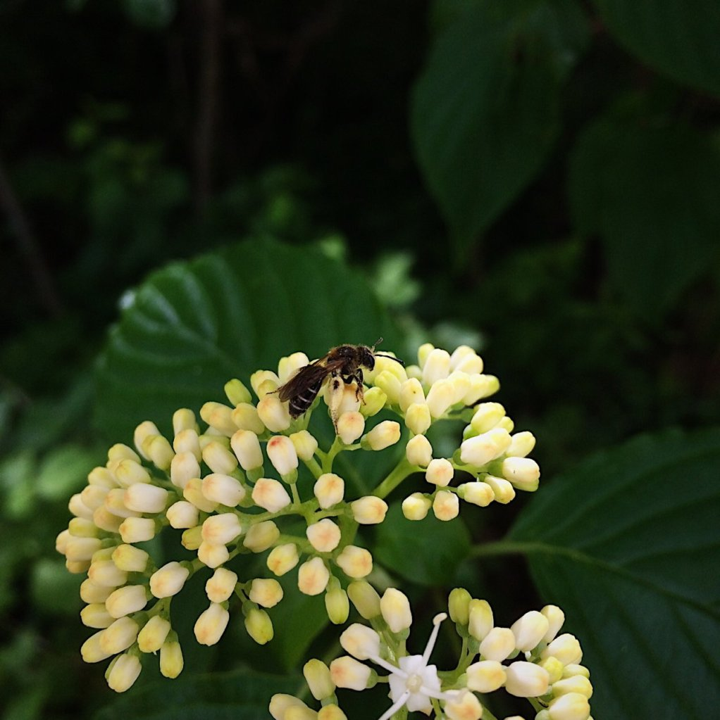 Insect on white flower buds. Photo by Reghan Skerry.