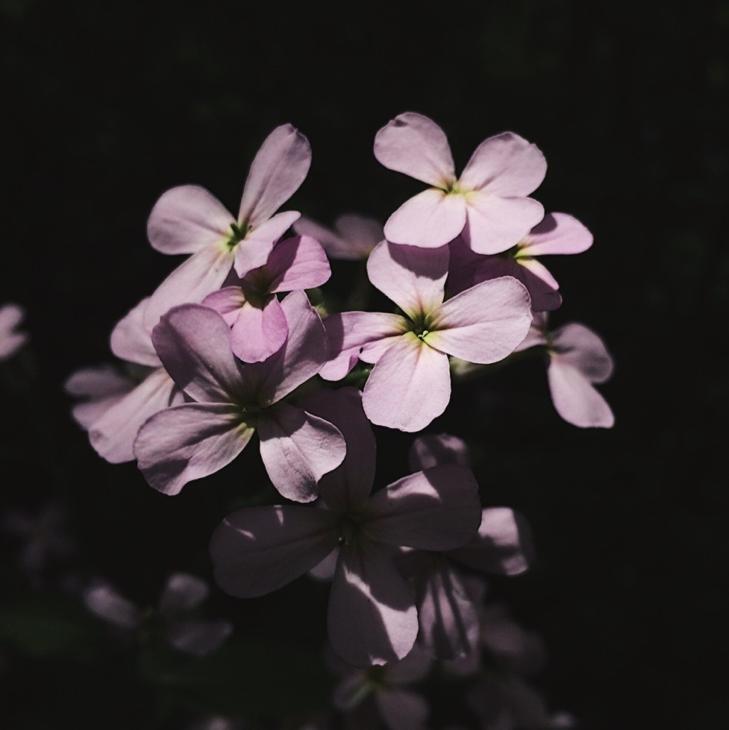 Pale purple flowers against a black background. Photo by Reghan Skerry.