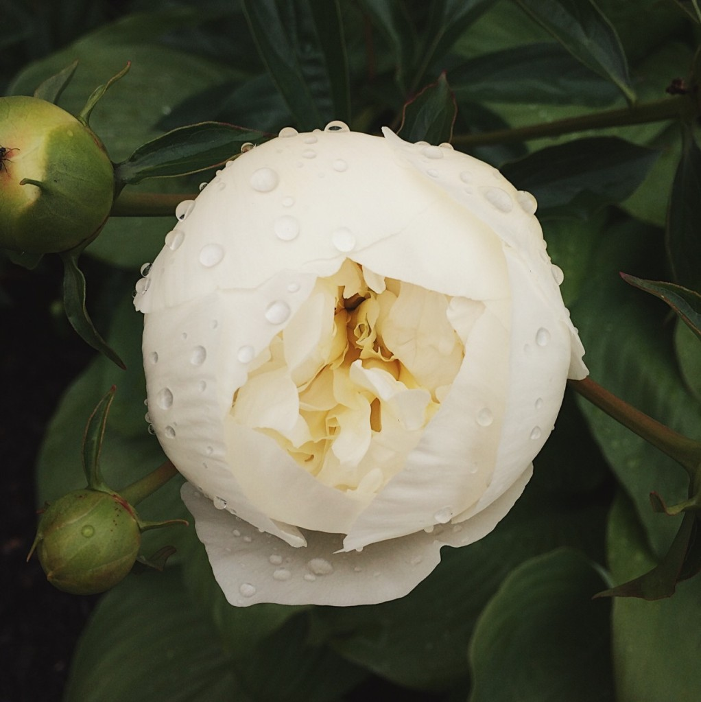 Off-white peony covered in raindrops. Photo by Reghan Skerry.
