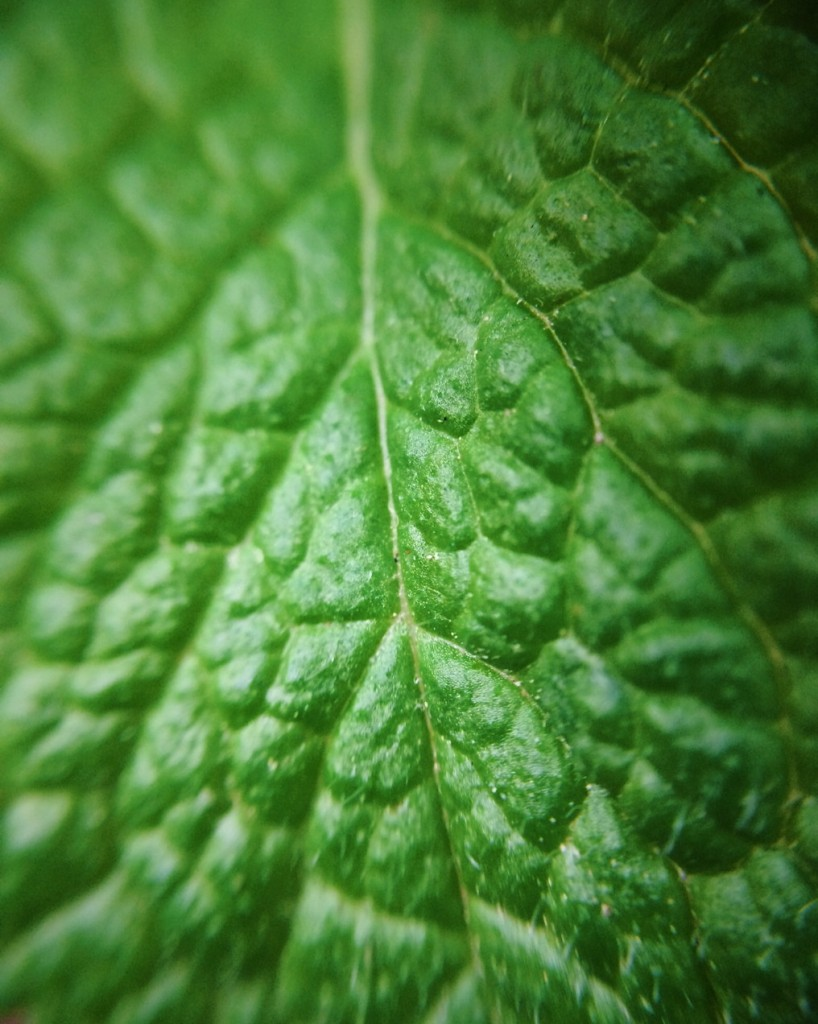 Close up of a mint leaf. Photo by Reghan Skerry.