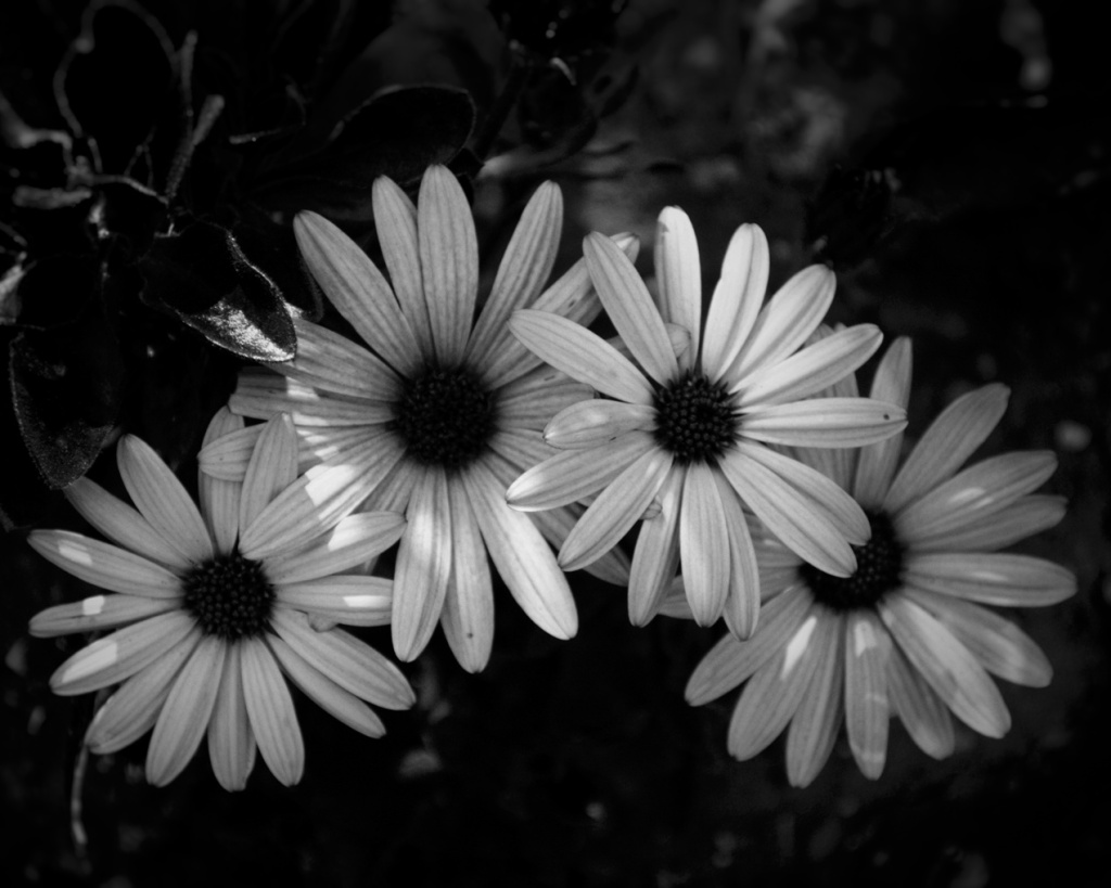 Black and white photo of four African daisies by Reghan Skerry.