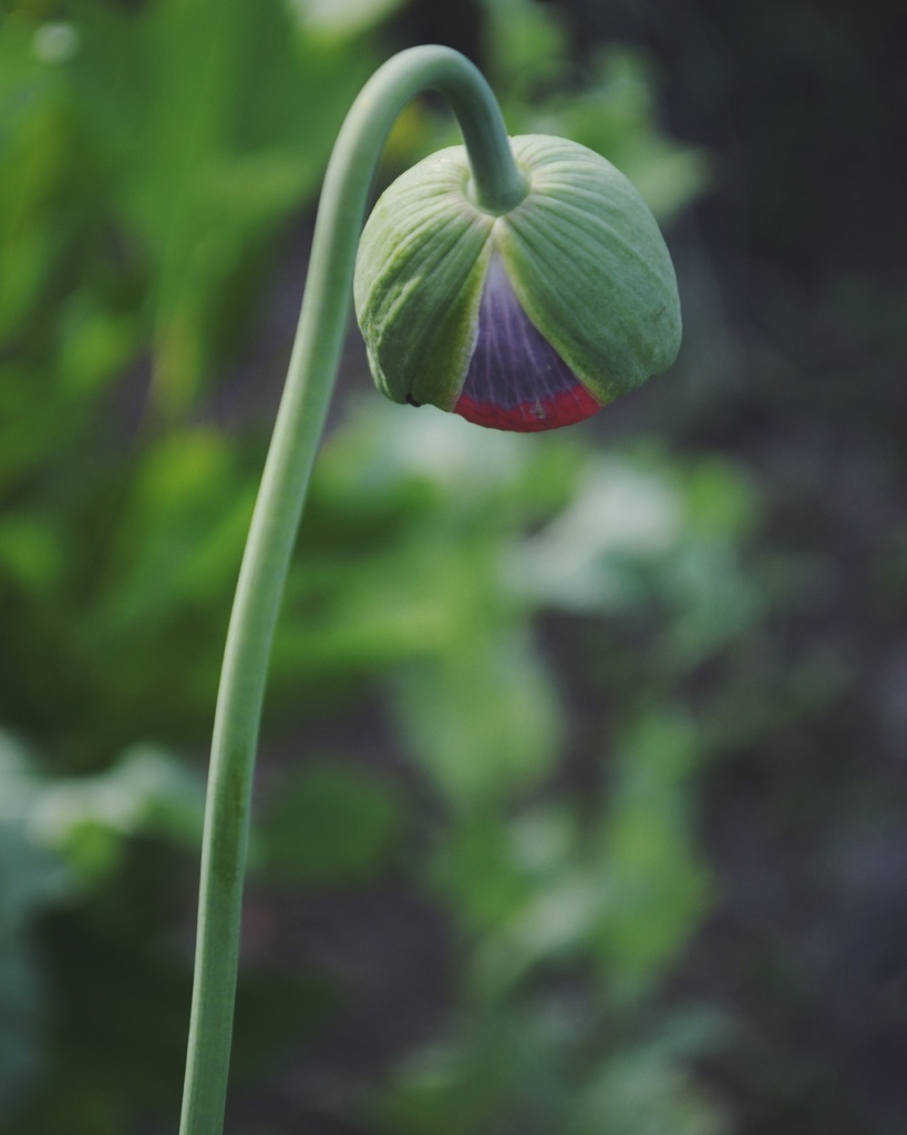 Photo of a purple and pink poppy just starting to open by Reghan Skerry.