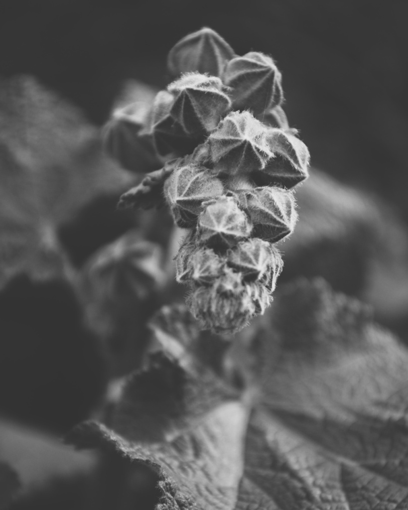 Black and white photo of a cluster of flower buds by Reghan Skerry.