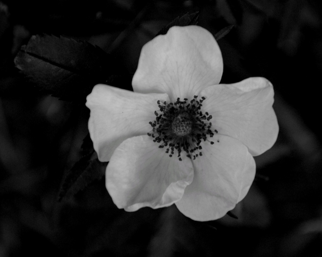 Black and white photo of a wild rose by Reghan Skerry.