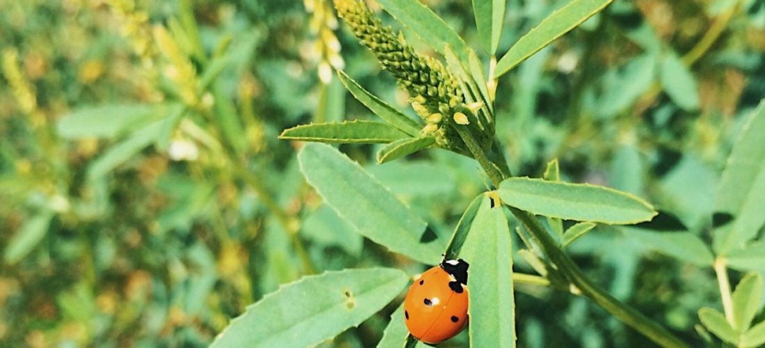 Photo of an orange ladybug on a plant by Reghan Skerry.