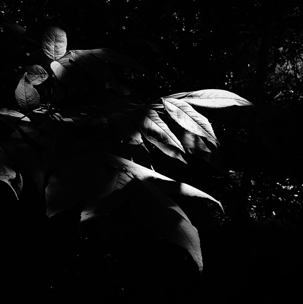 Black and white photo of leaves in heavy shadow by Reghan Skerry.