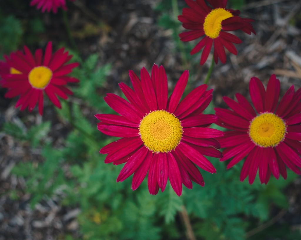 Red daisies. Photo by Reghan Skerry.