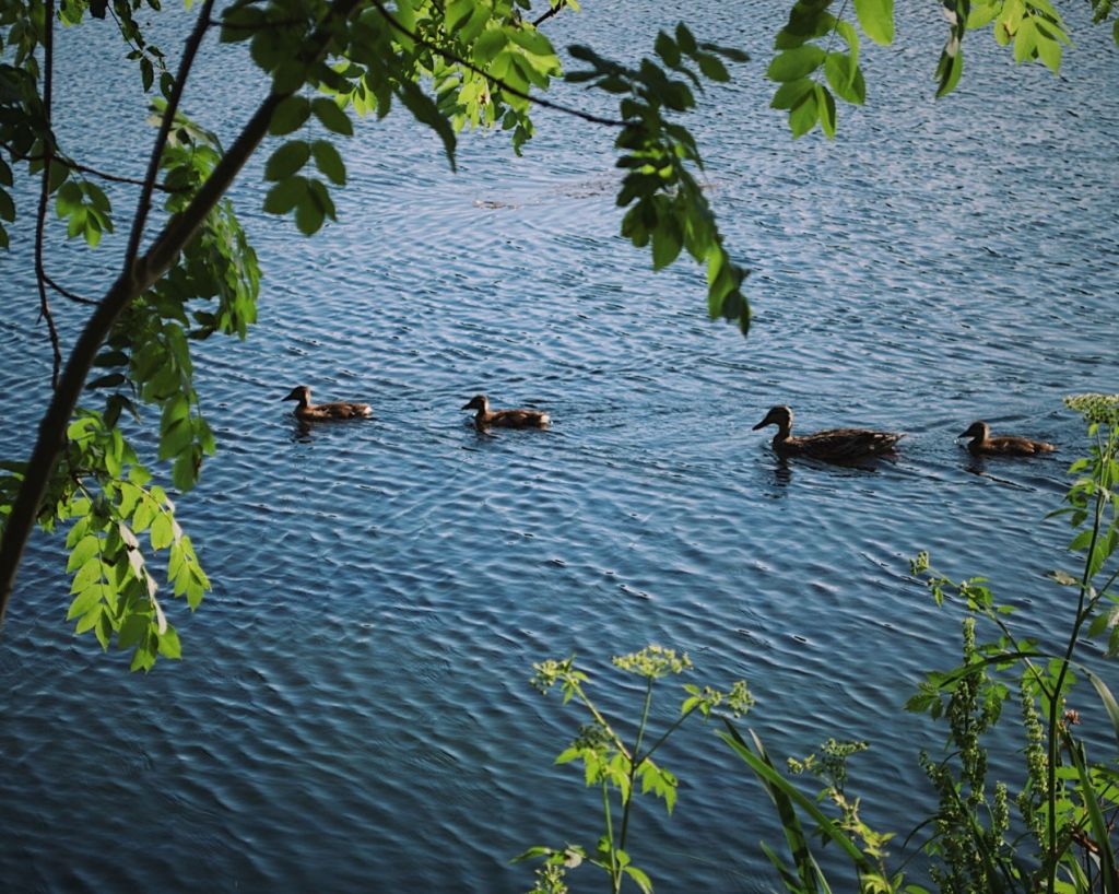 Four ducks swimming in a line. Photo by Reghan Skerry.